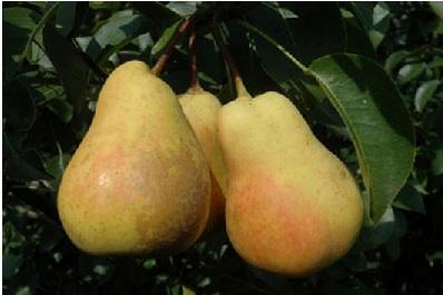 Саженцы плодовых деревьев и